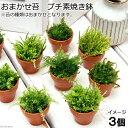 (水草/苔)おまかせ苔 プチ素焼き鉢(3個) 北海道航空便要保温
