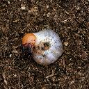 (昆虫)国産オオクワガタ 産地累代数不明 幼虫(初〜2令)(1匹) 北海道・九州航空便要保温