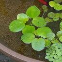 (ビオトープ/水辺植物)アマゾンフロッグビット(無農薬)(3株)