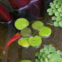 (ビオトープ)水辺植物 ドワーフフロッグビット(無農薬)(5株)