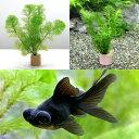 (金魚 水草)ライフマルチ(茶) メダカ・金魚藻セット+黒出目金(1匹)