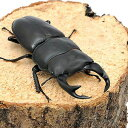 (昆虫)国産オオクワガタ 産地累代数不明 幼虫(初〜2令)(5匹) 北海道・九州航空便要保温