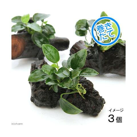 (水草)アヌビアスナナ プチ付流木 プチサイズ(3本)(約6cm)