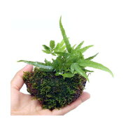 (盆栽)おまかせ 溶岩石苔玉(3個) 観葉植物 コケ玉