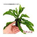 (水草)ミクロソリウム ラティフォリア(3ポット分)