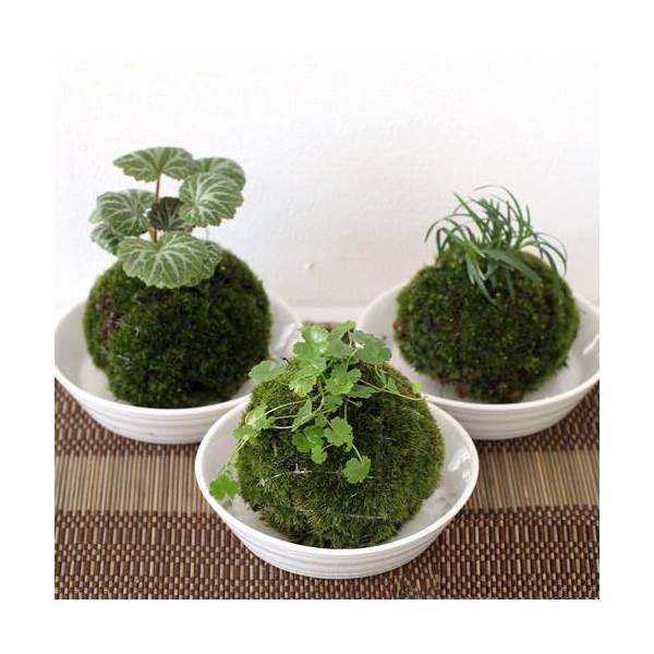 (盆栽)苔玉植物おまかせ(3個)観葉植物コケ玉(休眠株)