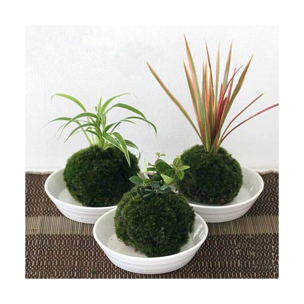 (盆栽)苔玉おまかせ観葉(3個)観葉植物コケ玉(休眠株)