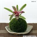 (こけだま)ミニ苔玉(ホソバオキナゴケ)ネオレゲリア ファイヤーボール(斑入り)(1個) ブロメリア