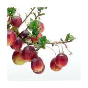 (山野草/盆栽)大実ツルコケモモ (クランベリー 蔓苔桃)3〜3.5号(1ポット) 家庭菜園