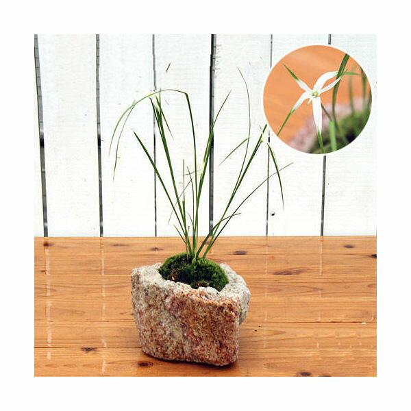(山野草)苔盆栽 抗火石鉢植え シラサギカヤツリ(1鉢)