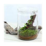 (観葉植物)苔Terrarium マメヅタ ガラスボトルL 説明書付 テラリウムキット 本州・四国限定