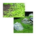 (水草)前景 水上葉(無農薬)2種セット ニューラージパール(1パック分)+ヘアーグラス ショート(2束分) 熱帯魚