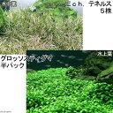 (水草 熱帯魚)前景 2種セット グロッソ(水上葉)(半パック分)+エキノドルス テネルス(5株)
