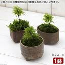 (盆栽/苔)苔盆栽 益子焼鉢植え コウヤノマンネングサ 鉢おまかせ(1鉢)