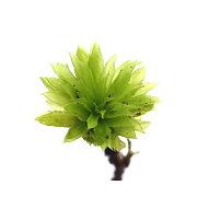 (観葉植物)苔 カサゴケモドキ(無農薬)(3本)