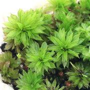 (観葉植物)苔 カサゴケモドキ(無農薬)(5本)