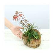 (山野草/盆栽)苔盆栽 抗火石鉢寄せ植え おまかせ山野草3種 (1鉢)