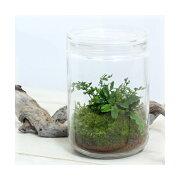 (観葉植物)苔Terrarium ブセファランドラ ガラスボトルL 説明書付 テラリウムキット 本州・四国限定