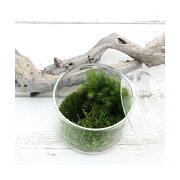 (観葉植物)苔Terrarium 苔ミックス 蓋付カップL 説明書付 テラリウムキット 本州・四国限定