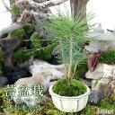 (山野草)苔盆栽 アカマツ おまかせ色小鉢(1鉢)
