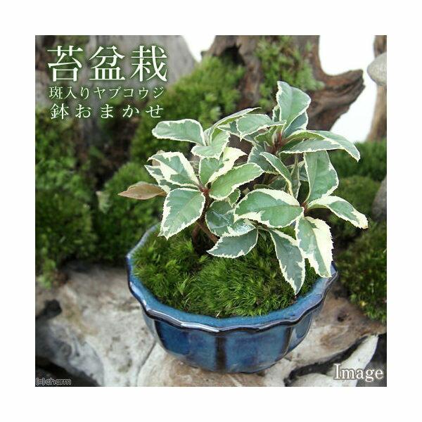 (山野草/盆栽)苔盆栽 斑入りヤブコウジ 鉢おまかせ(1鉢)