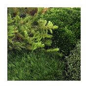 (観葉植物/苔)苔アソート 4種ミックス 品種表記なし 1パック分