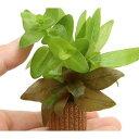 (水草)ライフマルチ(茶) 寄せ植えミックス(水上葉)(無農薬)(2個) 北海道航空便要保温