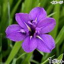 (ビオトープ)水辺植物 カキツバタ 上原(ウエハラ)紫花(1ポット)