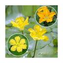 (ビオトープ/水辺植物)花色おまかせ アサザ(品種指定なし)(1ポット) - charm 楽天市場店