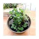 (ビオトープ/水辺植物)インスタント・ビオトープ LOWタイプ(寄せ植え)(1鉢)