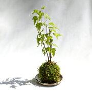 (盆栽)苔玉 品種おまかせ モミジ(紅葉)(1個) 観葉植物 コケ玉
