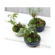 (山野草/盆栽)和盆栽 ミニ樹木苗 鉢おまかせ(1鉢)