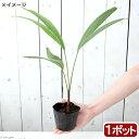 (観葉植物)マニラヤシの苗 3~4号(1ポット)