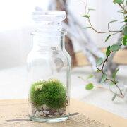 (観葉植物)苔Terrarium 羊の丘 テラリウムキット 本州・四国限定