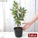 (観葉植物)イチゴの木 ストロベリーツリー 白花 4号(1ポット)