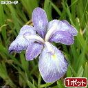 (ビオトープ)水辺植物 花菖蒲 青柳(アオヤナギ)伊勢系垂咲三英花薄紫(1ポット)