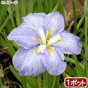 (ビオトープ)水辺植物 花菖蒲 青根(アオネ)肥後系薄青紫花(1ポット)