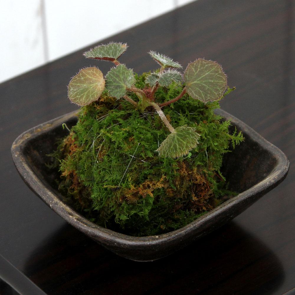 (盆栽)苔私の小さな日本庭園益子焼とおまかせミニ苔玉炭化(1セット)観葉植物コケ玉