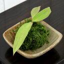 (盆栽)苔 私の小さな日本庭園 益子焼とおまかせミニ苔玉 還元(1セット)観葉植物 コケ玉