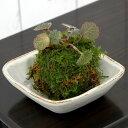 (盆栽)苔 私の小さな日本庭園 益子焼とおまかせミニ苔玉 白マット(1セット)観葉植物 コケ玉