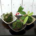 (盆栽)苔 私の小さな日本庭園 益子焼とおまかせミニ苔玉 3種セット(1セット)観葉植物 コケ玉 (休眠株)