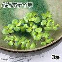 (水草)ぷちホテイ草(無農薬)(3株) 金魚 メダカ