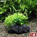 (水草)草たちの水景 溶岩石 Ver.アヌビアス(1個)
