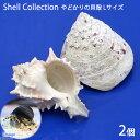 (海水魚 貝殻)やどかりの貝殻 Lサイズ おまかせ(殻口30〜50mm)(2個入り)(形状おまかせ)