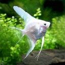 (熱帯魚)プラチナホワイト・エンゼルフィッシュ(国産ブリード)(1匹) 北海道・九州航空便要保温