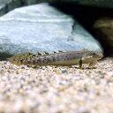 (熱帯魚)ポリプテルス・パルマス・ポーリー Sサイズ(ブリード)(1匹) 北海道・九州・沖縄航空便要保温