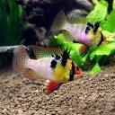 (熱帯魚)ジャーマン・ラミレジィ ドイツブリード(1ペア)