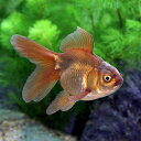 (国産金魚)茶金(1匹)