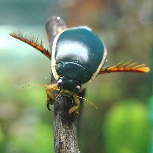 (昆虫)ゲンゴロウ(1ペア) 北海道航空便要保温