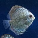 (熱帯魚)ブルースネークスキン・ディスカス(Sサイズ)(1匹)